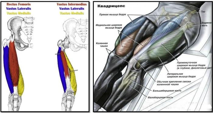 Анатомия бедра