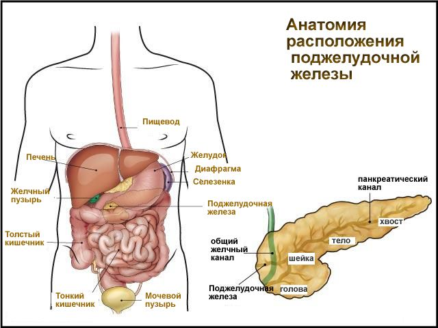 органы живота