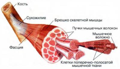 Мышца строение