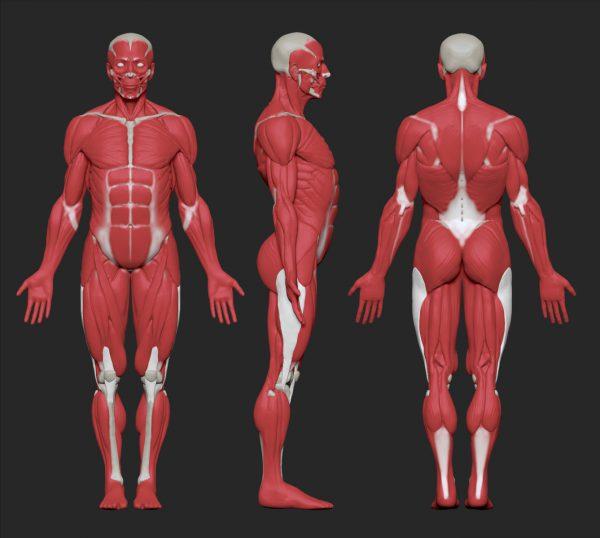 Мышцы тела